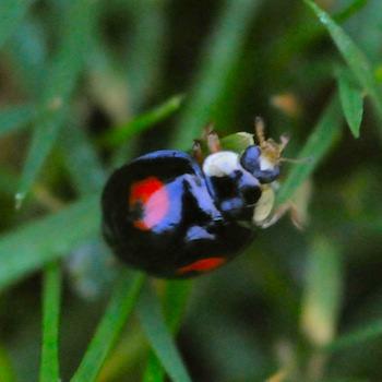 BlackLadybird