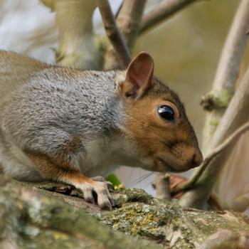 SquirrelHead