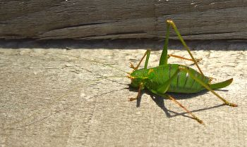 SpeckledBushCricket