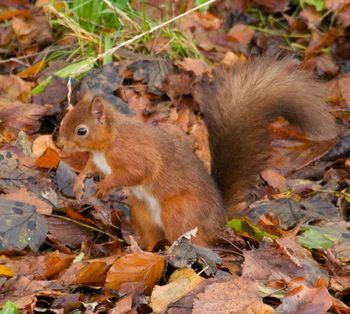 RedSquirrelCamouflage