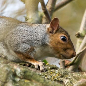GreySquirrel