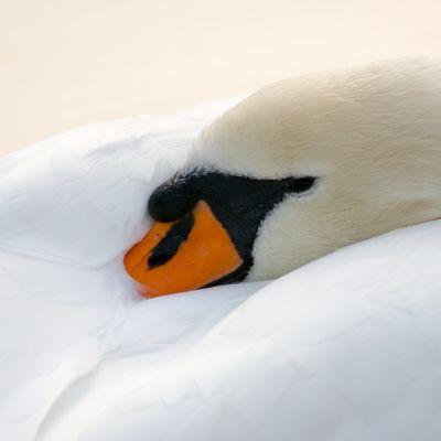 SwanTuckedIn