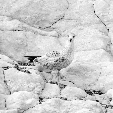 GullCamouflage