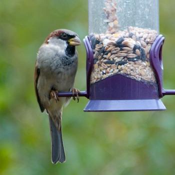 SparrowOnFeeder