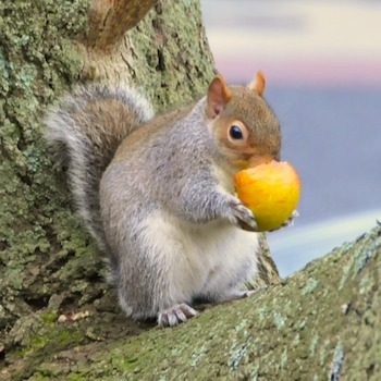 SquirrelEatingApple