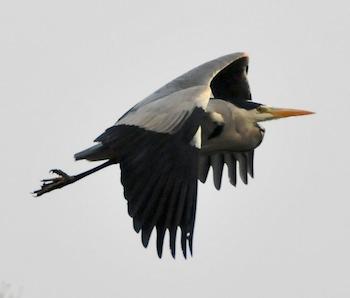 HeronFlying