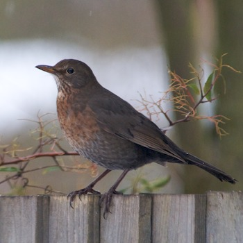 BlackbirdFemale