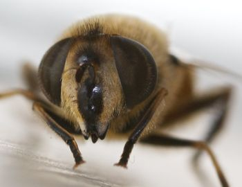 HoverflyFace