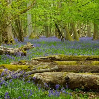 BluebellsAshridge