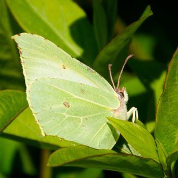 BrimstoneButterfly