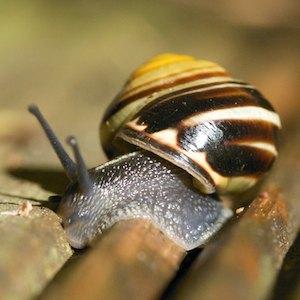 SnailStripey