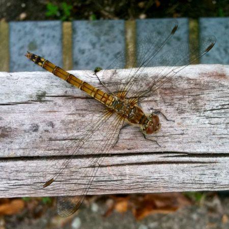 CommonDarterDragonfly