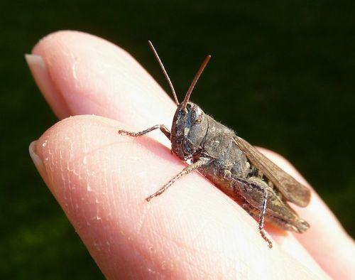 GrasshopperOnFingers