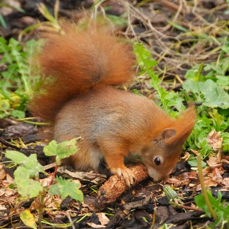 RedSquirrelThorpPerrow