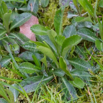 LawnWeed1