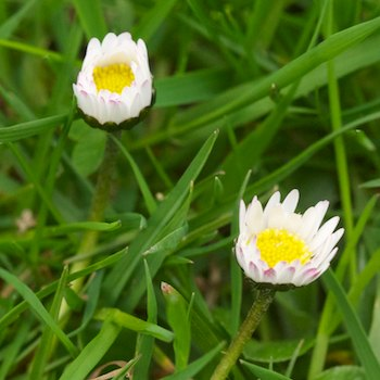 LawnDaisyFlowers