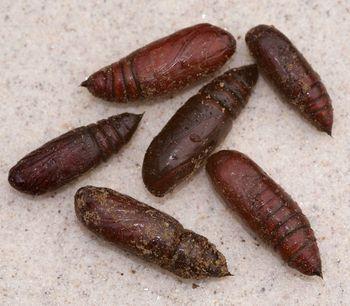 BeetlePupae