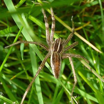 GrassSpider