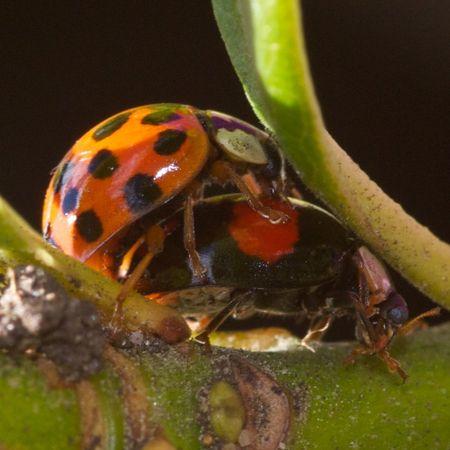 LadybirdSex