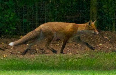 FoxRunning
