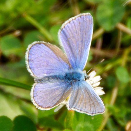 SIlverStuddedBlueButterfly