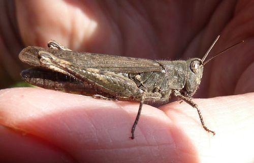 GrasshopperOnFingers2