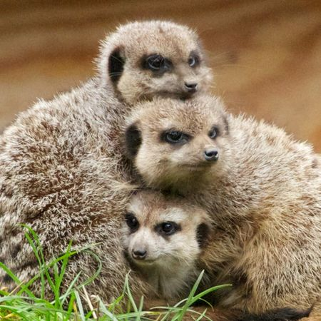 ThreeMeerkats