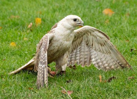 HawkMantling