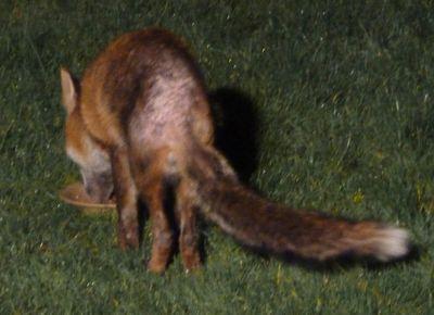 FoxInGarden