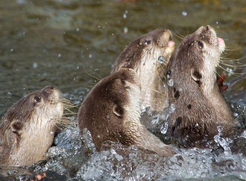 OtterPandemonium