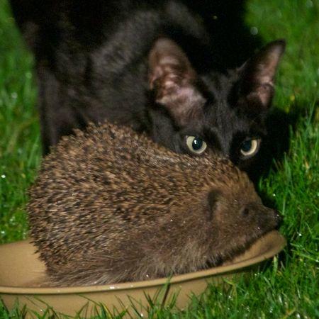 HedgehogVsCat