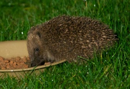 HedgehogFeeding