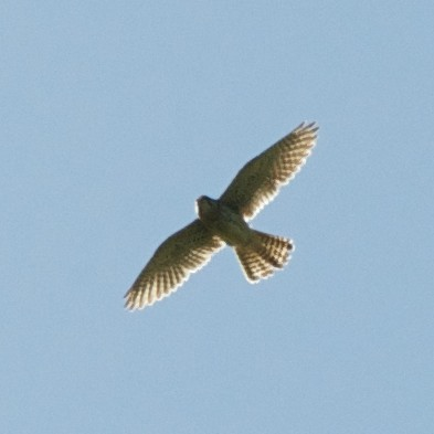 HobbyOrKestrel