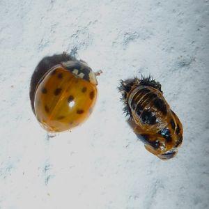 LadybirdEmerging2