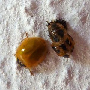 LadybirdEmerging1