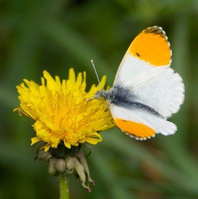 OrangeTipButterfly