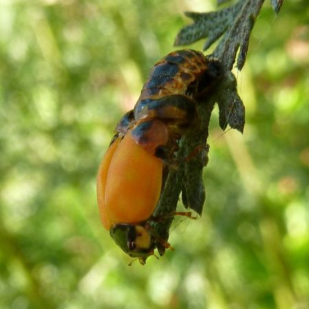 LadybirdEmerging