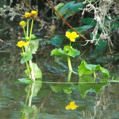 MarshMarigoldFlower
