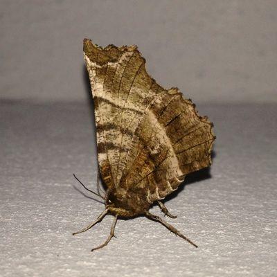 MysteryButterfly