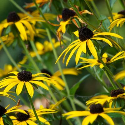 RudbeckiaFlowers