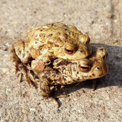 ToadsMating