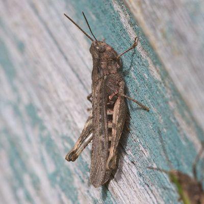 GrasshopperSideOn