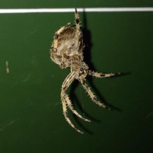 Massive Garden spider