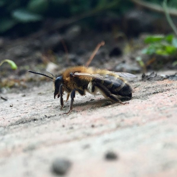 Mining Bee On Path