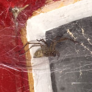 Guard House Spider