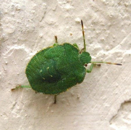 Shield Bug Nymph
